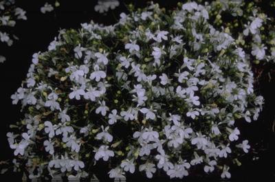 Tuinlobelia - Lobelia erinus 'Paper Moon'
