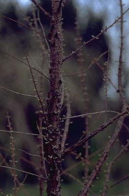 Watercipres - Metasequoia glyptostroboides 'Waasland'