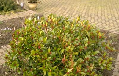 Skimmia - Skimmia japonica 'Rubella'