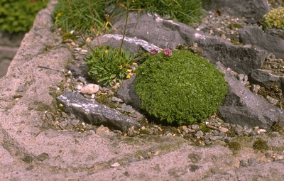 Wilde tijm - Thymus serpyllum 'Elfin'