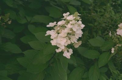 Pluimhortensia - Hydrangea paniculata