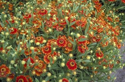 Zonnekruid - Helenium 'Flammendes Kätchen'