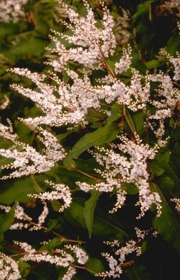 Duizendknoop Persicaria polymorpha