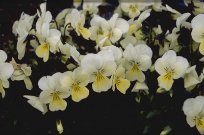 Viooltje - Viola 'White Perfection'