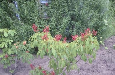 Rode pavia - Aesculus pavia 'Atrosanguinea'