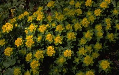 Kleurige wolfsmelk - Euphorbia polychroma