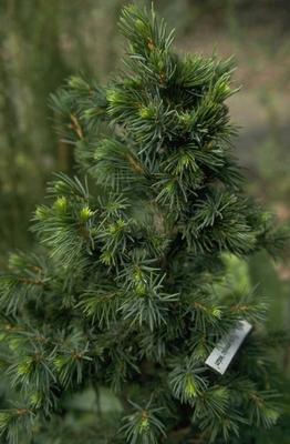 Picea omorika 'Pimoko'