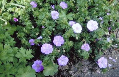 Ooievaarsbek - Geranium sanguineum 'Cedric Morris'