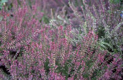 Knopbloeiende heide - Calluna vulgaris 'Roswhita'