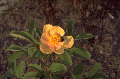 Schoenlappersplant - Bergenia cordifolia