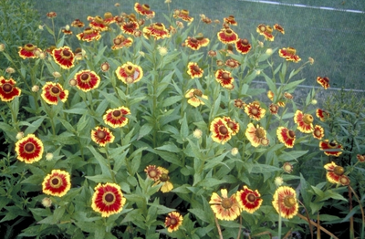 Zonnekruid - Helenium 'Biedermeier'