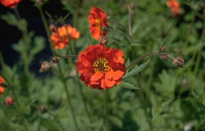 Nagelkruid - Geum coccineum 'Red Wings'