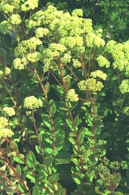 Bleke hemelsleutel - Sedum telephium subsp. maximum