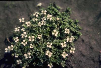 Viburnum x burkwoodii 'Anne Russell'
