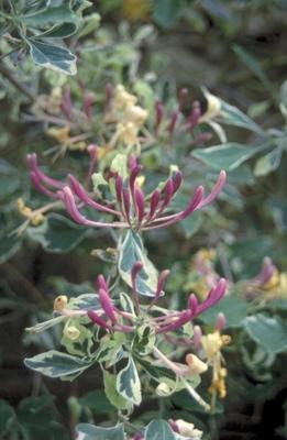 Wilde kamperfoelie - Lonicera periclymenum 'Harlequin'