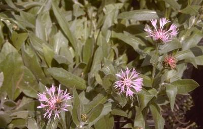Korenbloem - Centaurea montana 'Carnea'
