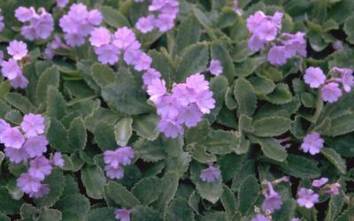 Sleutelbloem - Primula marginata