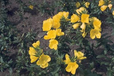 Teunisbloem - Oenothera fruticosa 'Yellow River'