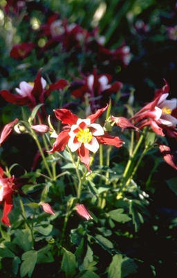 Akelei - Aquilegia 'Red Hobbit'