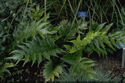 IJzervaren - Cyrtomium Falcatum