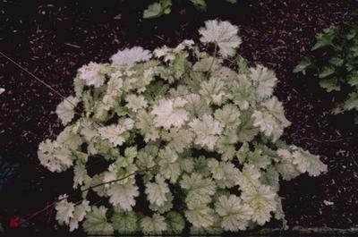 Bijenblad - Melittis melissophyllum