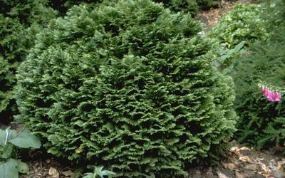 Californische cipres - Chamaecyparis lawsoniana 'Minima Glauca'
