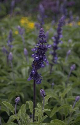 Meersalie - Salvia farinacea 'Renaissance'