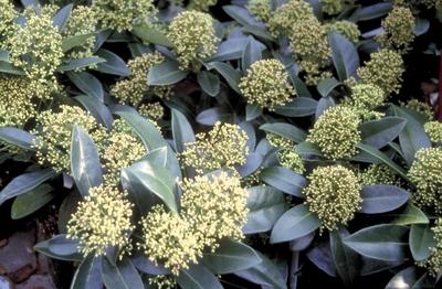 Skimmia japonica 'White Bella'
