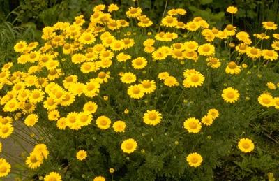 Gele kamille - Anthemis x hybrida 'Kelwayi'