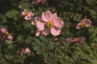 Herfstanemoon - Anemone hupehensis 'September Charm'