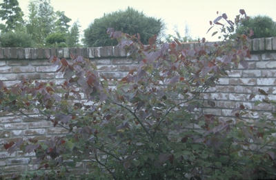 Judasboom - Cercis canadensis 'Forest Pansy'
