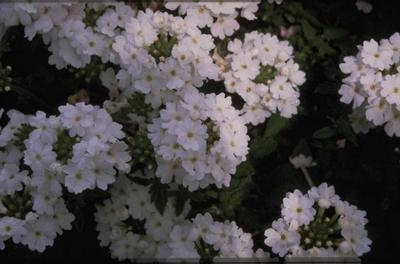Verbena - Verbena 'Elegance White'