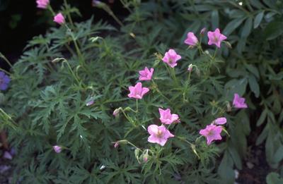 Ooievaarsbek - Geranium clarkei 'Kashmir Pink'