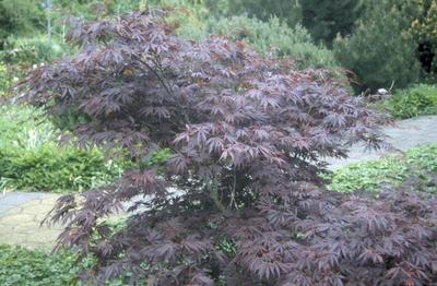 Japanse Esdoorn - Acer palmatum 'Burgundy Lace'
