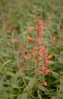 Dropplant - Agastache 'Firebird'