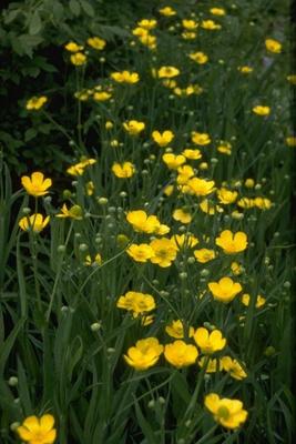 Grote boterbloem - Ranunculus lingua