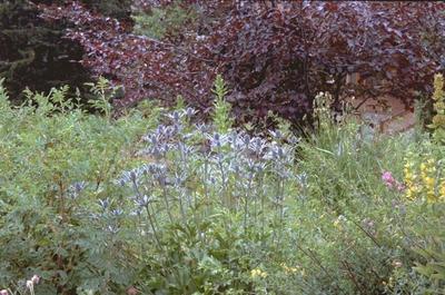Alpenkruisdistel - Eryngium alpinum
