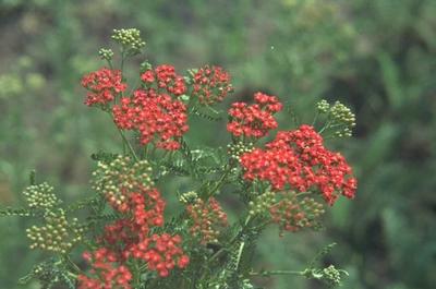 Gewoon duizendblad - Achillea millefolium 'Red Beauty'