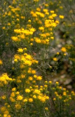 Aster linosyris 'Goldflake'