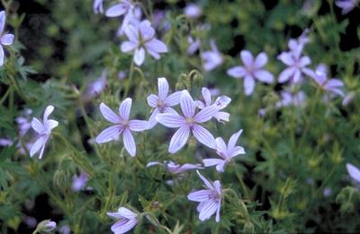 Ooievaarsbek - Geranium asphodeloides 'Prince Regent'