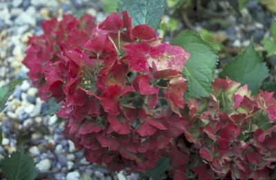 Hortensia - Hydrangea macrophylla 'Deutschland'