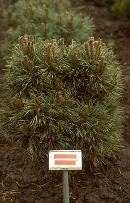 Pinus sylvestris 'Hibernia'