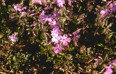 Flox - Phlox x procumbens 'Rosea'