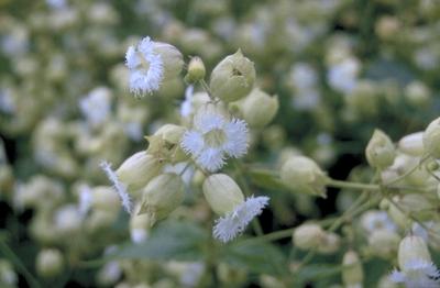 Gewimperde blaassilene - Silene fimbriata