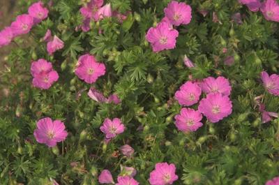 Ooievaarsbek - Geranium sanguineum 'Max Frei'