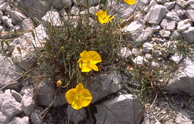 Klaproos - Papaver alpinum