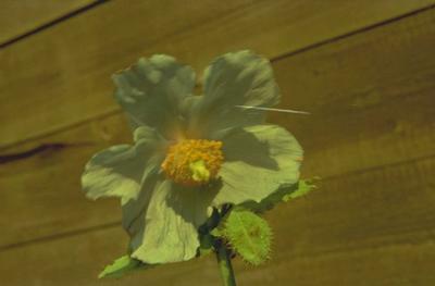 Blauwe klaproos - Meconopsis betonicifolia