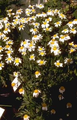Gele Kamille - Anthemis x hybrida 'Sauce Hollandaise'