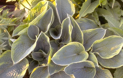 Hartlelie - Hosta sieboldiana 'Frances Williams'