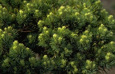 Pinus parviflora 'Hagaromo Seedling'